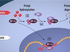 本年首个诺贝尔奖公布,让细胞缺氧来治疗癌症